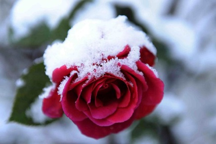 pink-rose-snow.jpg